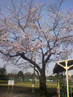 ☆桜満開☆